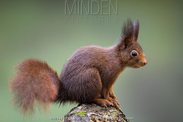 Red squirrel (Sciurus vulgaris) Germany  -  Ingo Arndt/ npl