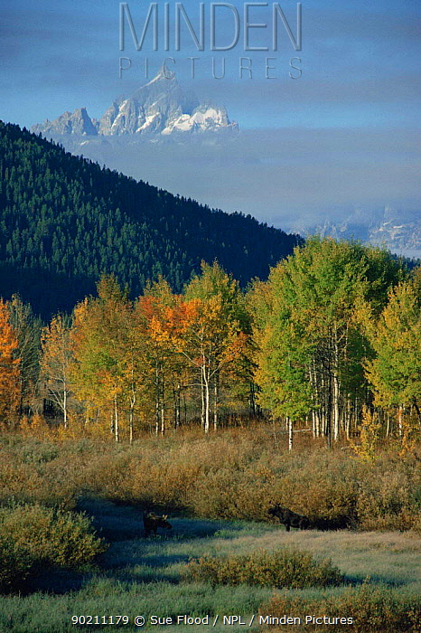 Moose (Alces alces) grazing in clearing, Grand Teton in background, Grand Teton NP, Wyoming, USA  -  Sue Flood/ npl
