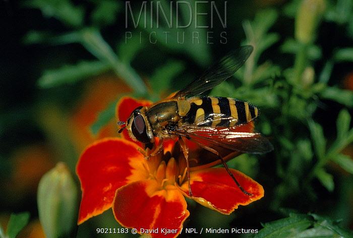Hoverfly on flower, England  -  David Kjaer/ npl