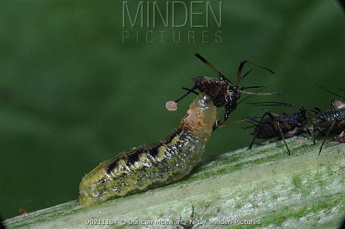 Hoverfly larvae feeding on aphid, UK  -  Duncan McEwan/ npl