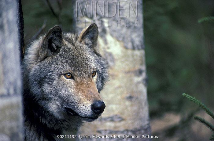 Grey (timber) wolf among aspen trees (Canis lupus) C  -  Tim Edwards/ npl