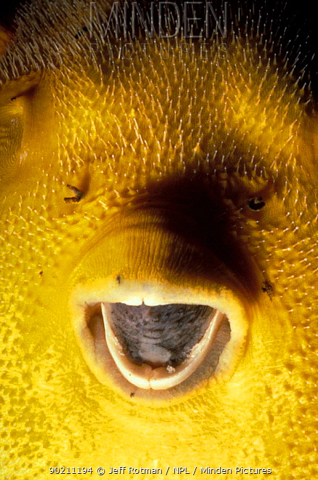 Yellow pufferfish face close-up (Arothron nigropunctatus) Galapagos  -  Jeff Rotman/ npl