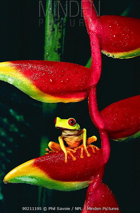 Red eyed tree frog on heliconia (Agalychnis callidryas)  -  Phil Savoie/ npl