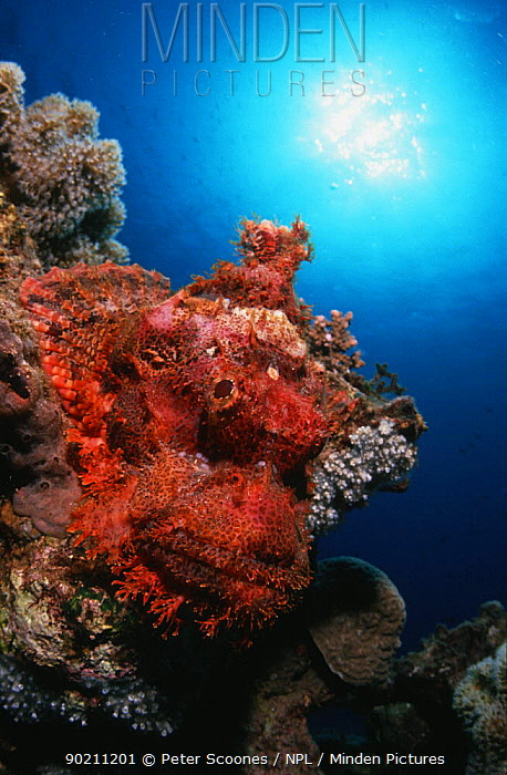 Bearded Scorpionfish (Scorpaenopsis barbatus) Red Sea  -  Peter Scoones/ npl