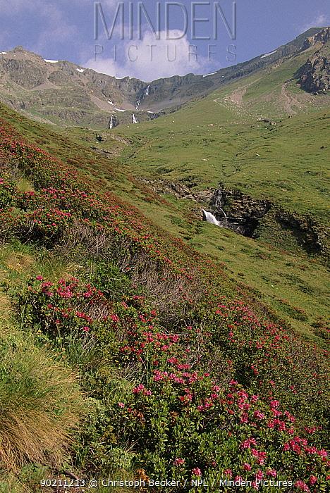 Alpine rose (Rhododendron ferrugineum) and alpine flowers Engadine, Switzerland, Europe  -  Christoph Becker/ npl