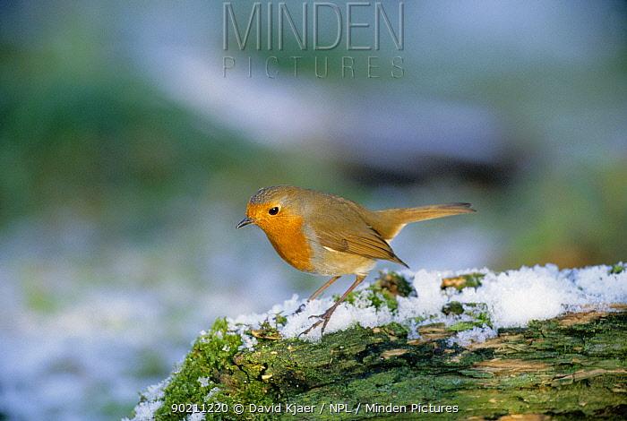 Robin on snow covered log (Erithacus rubecula) UK  -  David Kjaer/ npl