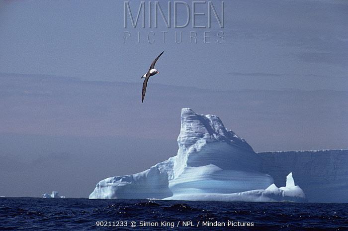 Black browed albatross (Thalassarche melanophrys) in flight with iceberg behind, South Georgia, Antarctica  -  Simon King/ npl
