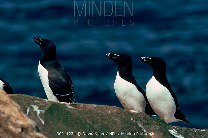 Razorbills on rock, Scotland  -  David Kjaer/ npl