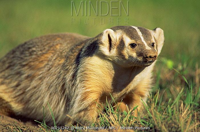 American badger (Taxidea taxus) captive, USA  -  Mary Mcdonald/ npl