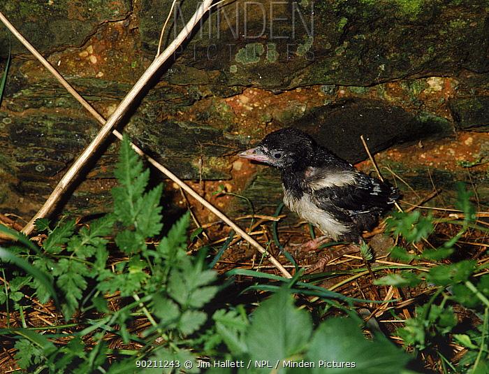 Magpie chick (Pica pica) fallen from nest UK  -  Jim Hallett/ npl