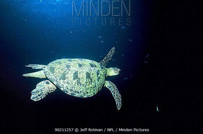 Green turtle at sunset (Chelonia mydas) Sipadan Is, Borneo  -  Jeff Rotman/ npl