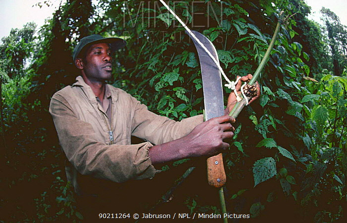 Park warden destroys snare set for antelope, bushmeat practice, Virunga NP, Democratic Republic of Congo (formerly Zaire), Central Africa  -  Jabruson/ npl