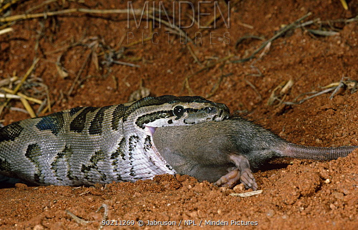 Rock python (Python sebae) swallowing rat, Tsavo East NP, Kenya, sequence 3, 4  -  Jabruson/ npl