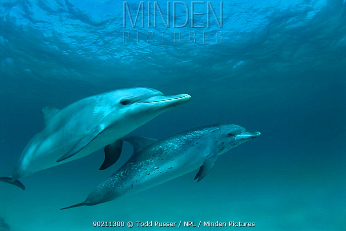Pair of Atlantic spotted dolphins underwater (Stenella frontalis) Bahamas, Atlantic  -  Todd Pusser/ npl