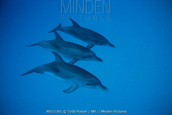 Three Atlantic spotted dolphins underwater (Stenella frontalis) Bahamas  -  Todd Pusser/ npl