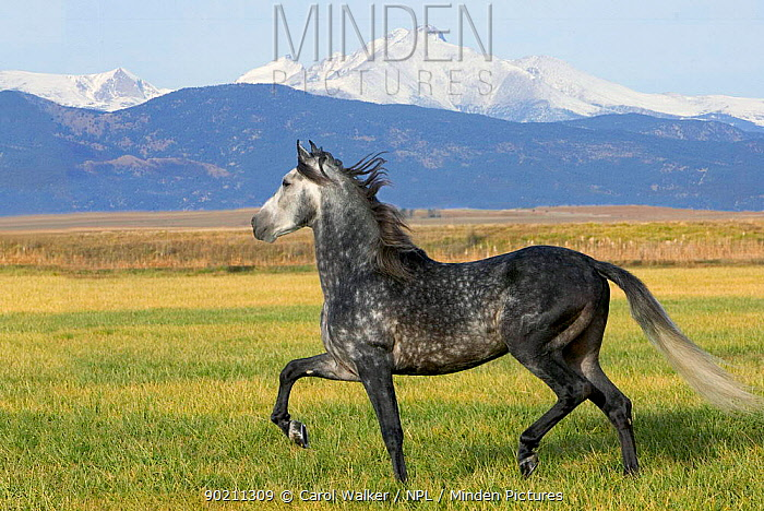 Grey Andalusian stallion trotting with Rocky Mountains behind, Colorado, USA  -  Carol Walker/ npl