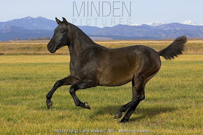 Dark grey young Andalusian stallion cantering, Colorado, USA  -  Carol Walker/ npl
