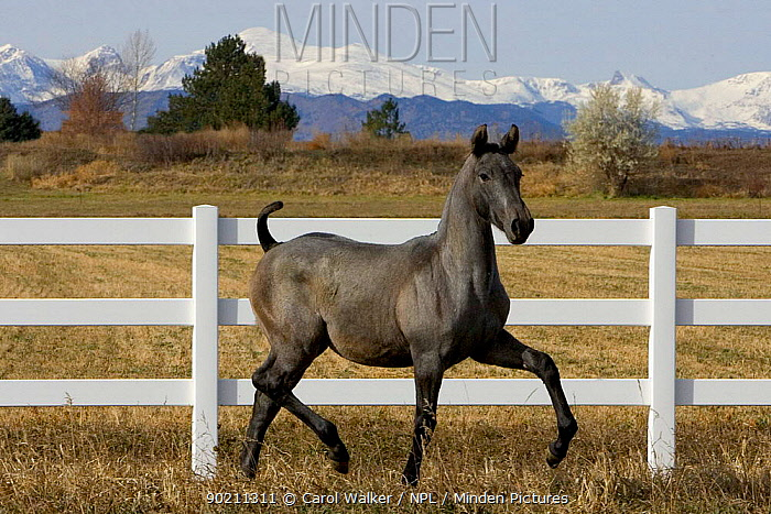 Young grey Andalusian horse trotting in corral with Rocky mtns behind, Colorado, USA  -  Carol Walker/ npl