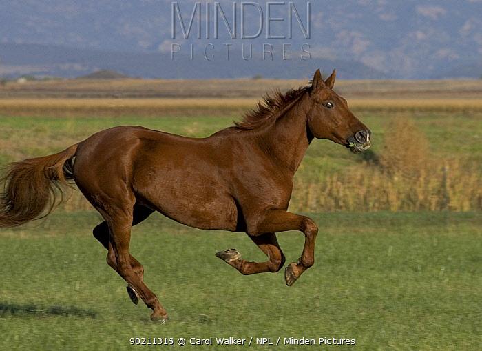 Chestnut Thoroughbred horse cantering, Colorado, USA  -  Carol Walker/ npl