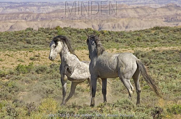 Mustang, Wild horse, dominant grey mare strikes out at stallion, Wyoming, USA Adobe  -  Carol Walker/ npl