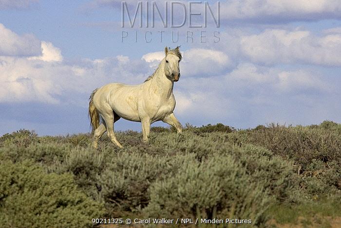 Mustang, Wild horse, grey stallion trotting along hillside, Wyoming, USA Adobe  -  Carol Walker/ npl