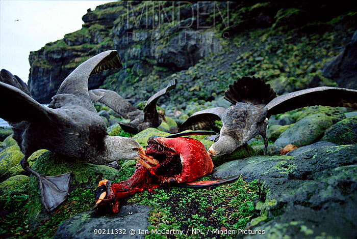 Giant petrels (Macronectes giganteus) feed on King penguin, Marion Is, sub-antarctica (Taken on location for BBC Planet Earth Shallow Seas 2005)  -  Ian Mccarthy/ npl