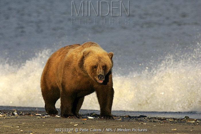 Grizzly, Brown bear (Ursus arctos) walking on shingle beach, Katmai Alaska  -  Pete Cairns/ npl