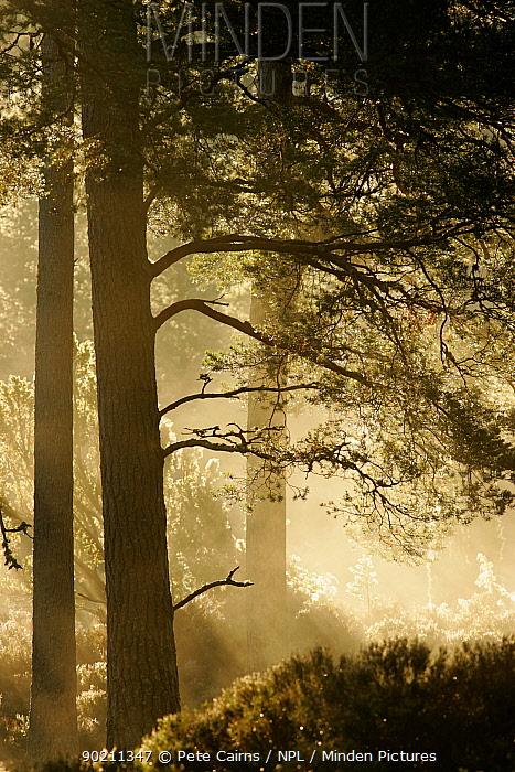 Pine forest backlit in dawn mist, Cairngorms National Park, Scotland, UK  -  Pete Cairns/ npl