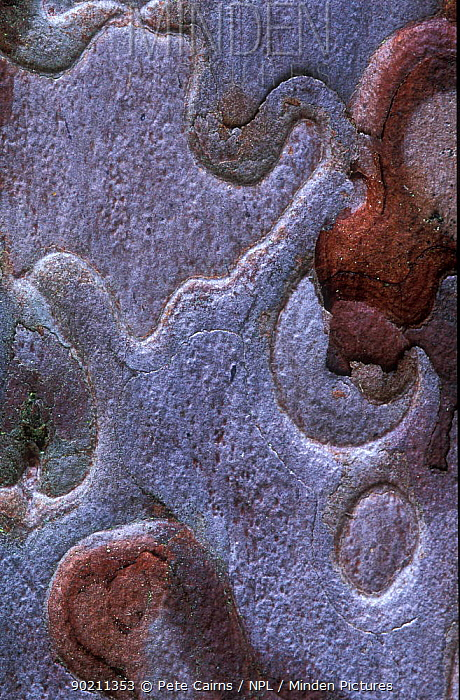 Bark patterns of Scots pine (Pinus sylvestris) in close-up, Cairngorms, Scotland  -  Pete Cairns/ npl