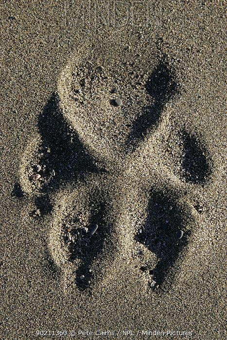 Wolf footprint track in soft sand, Katmai National Park, Alaska, USA  -  Pete Cairns/ npl