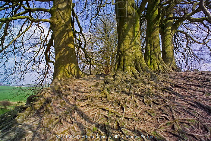 Exposed roots of European Beech tree (Fagus sylvatica) Wiltshire, UK  -  Adrian Davies/ npl