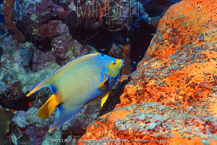 Queen angelfish (Holacanthus ciliaris) and sponges, Bonaire, Caribbean  -  Georgette Douwma/ npl