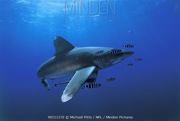 Oceanic whitetip shark (Carcharhinus longimanus), Red Sea  -  Michael Pitts/ npl