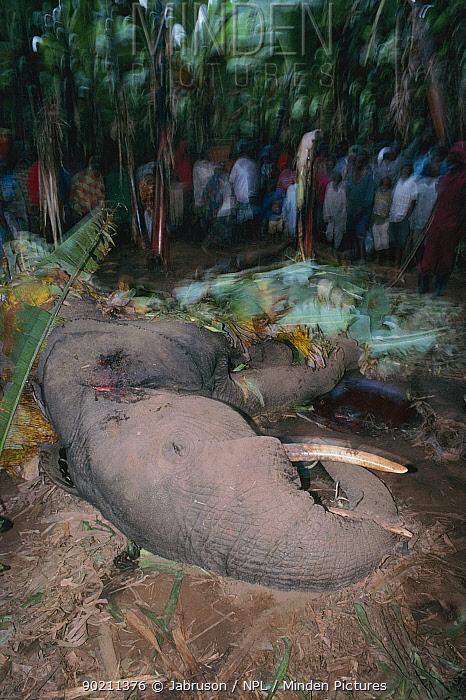 African elephant killed for raiding banana plantation on edge of Parc des Volcans NP, Rwanda  -  Jabruson/ npl