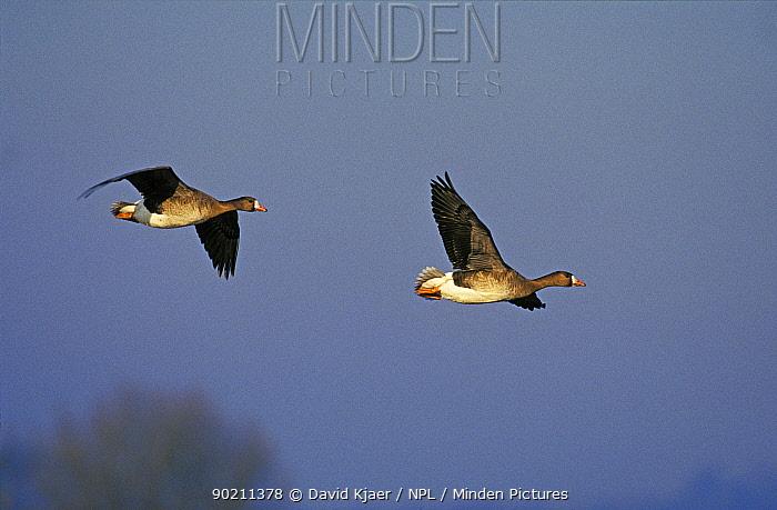 Two White fronted geese flying (Anser albifrons) UK  -  David Kjaer/ npl