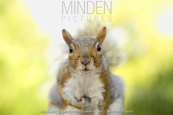 Grey squirrel (Sciurus carolinensis) head portrait, Regents Park, London, UK  -  Georgette Douwma/ npl