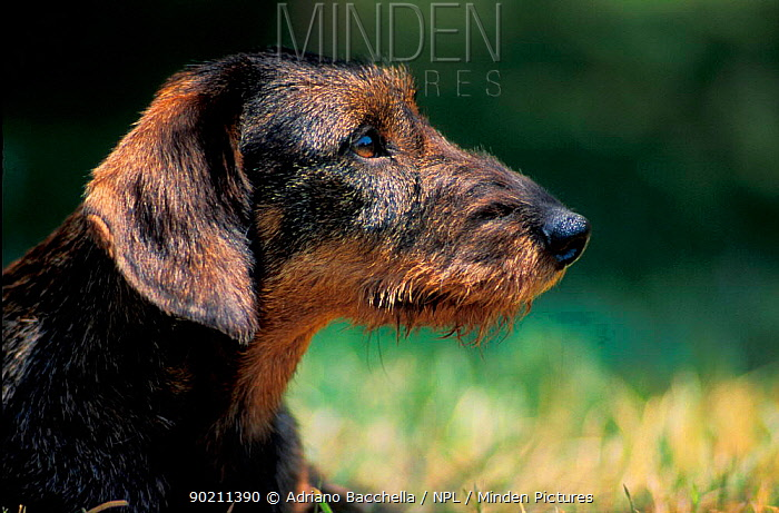 Wire-haired Dachshund profile, outdoors  -  Adriano Bacchella/ npl