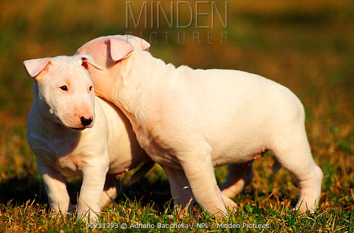 Two white Bull Terriers playing,, outdoors  -  Adriano Bacchella/ npl