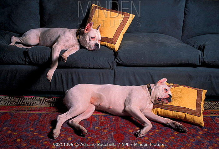 Two white Boxers with cropped ears resting indoors  -  Adriano Bacchella/ npl