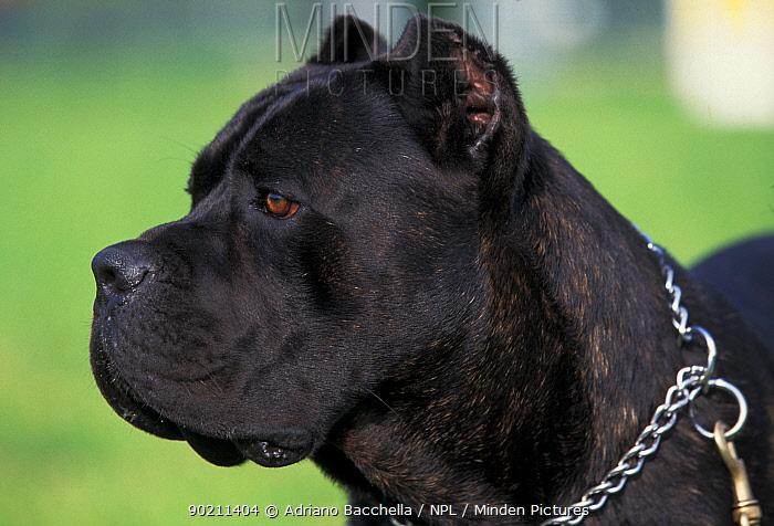 Cane corso dog, outdoors  -  Adriano Bacchella/ npl