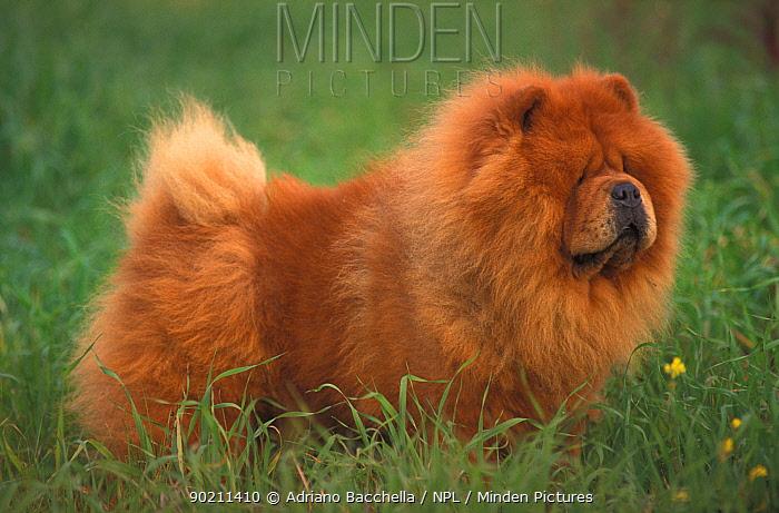 Chow chow dog, rough coated  -  Adriano Bacchella/ npl
