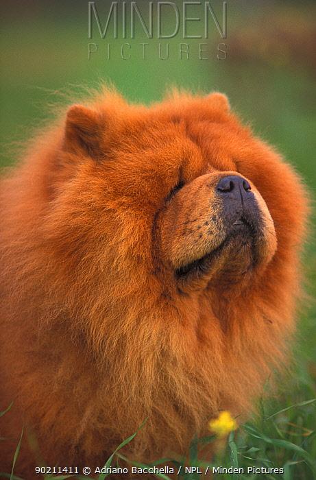 Chow chow dog, rough coated, portrait  -  Adriano Bacchella/ npl