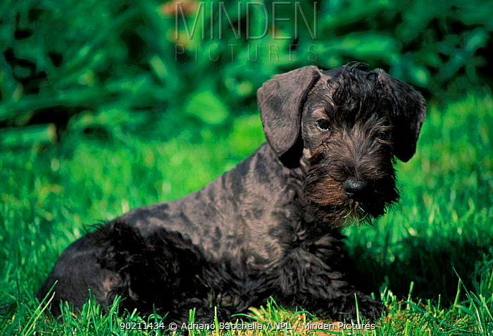 Cesky terrier, black puppy  -  Adriano Bacchella/ npl