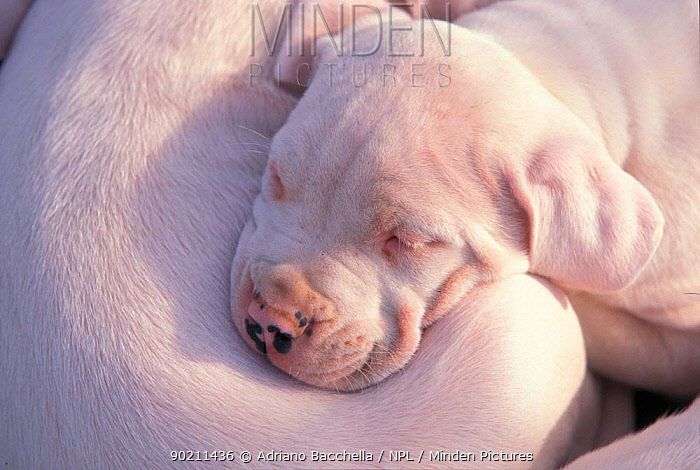 Dogo Argentino, Argentinian fighting dog, puppy resting on another  -  Adriano Bacchella/ npl