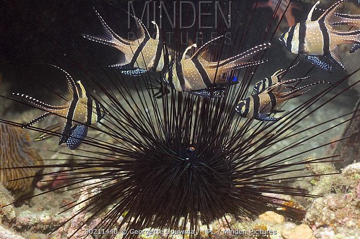 Banggai cardinalfish (Pterapogon kauderni) sheltering amongst the spines of a Long-spine urchin (Diadema setosum) Lembeh Strait, North Sulawesi, Indonesia  -  Georgette Douwma/ npl