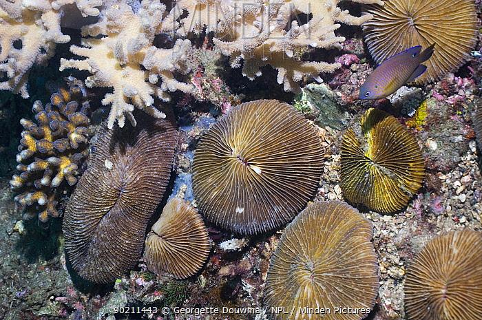 Mushroom coral (Fungia sp) Lembeh Strait, North Sulawesi, Indonesia  -  Georgette Douwma/ npl