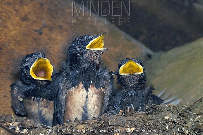 Three hungy Swallow (Hirundo rustica) chicks calling from nest under roof in barn, UK  -  Georgette Douwma/ npl