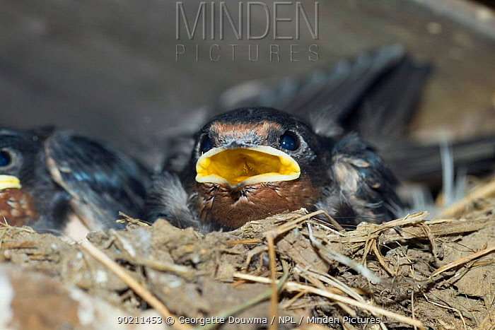 Swallow chick (Hirundo rustica) in nest under roof in barn, UK  -  Georgette Douwma/ npl