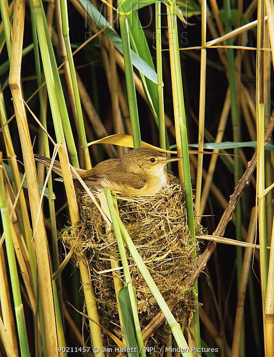 Reed warbler (Acrocephalus scirpaceus) on nest in reeds, Somerset levels, UK  -  Jim Hallett/ npl