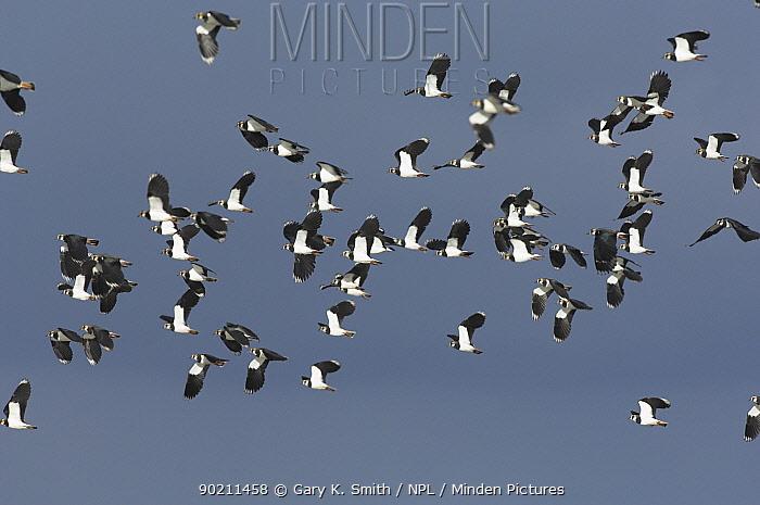 Flock of Lapwing (Vanellus vanellus) in flight Norfolk, UK  -  Gary K. Smith/ npl